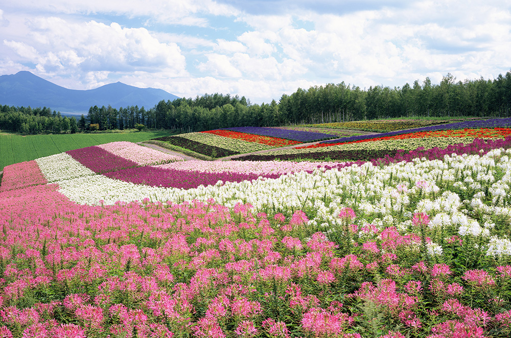 Furano and biei hills and flowers create beautiful for Flower hill farms