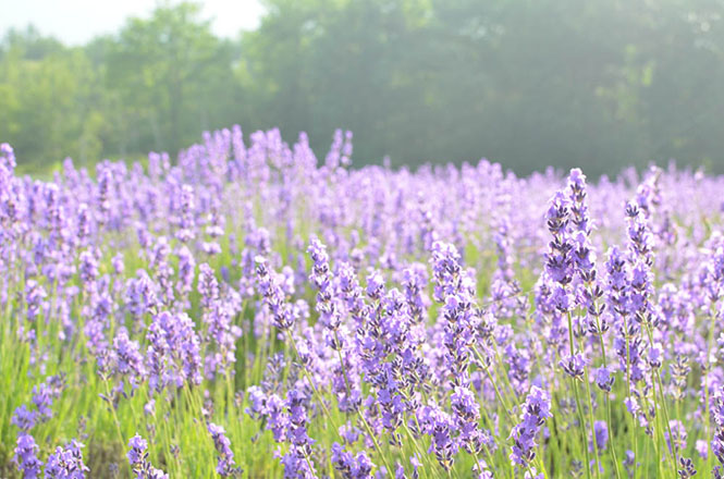 [Shimanoshita Onsen in Furano] Day Trip Bath and Lavenders Can Be Enjoyed[Nature, Onsen and Tasty Foods] Good!Hokkiado!, I Introduce sightseeing spots such as  Nature, Hot Springs and Tasty Foods in Hokkaido