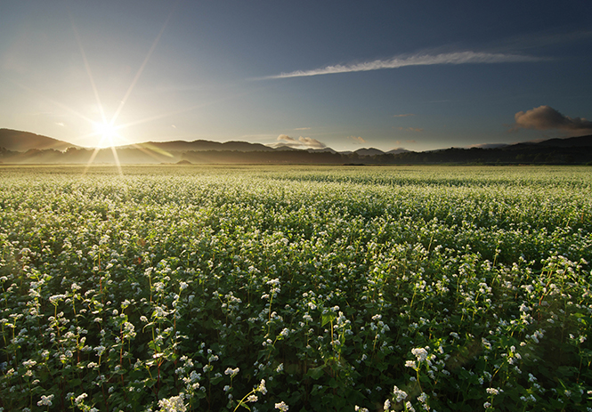 Horokanai Buckwheat Fields