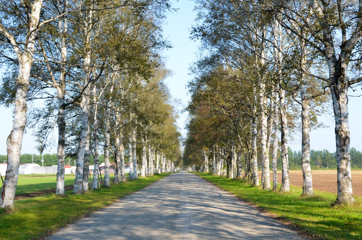 Tokachi Ranch White Birch Tree Avenue