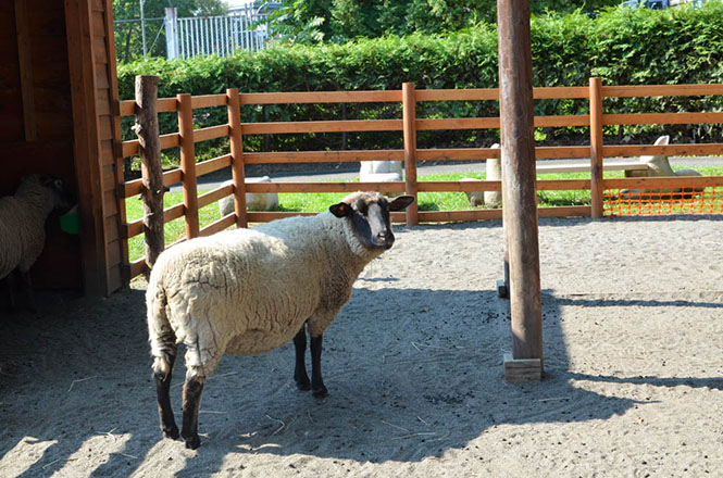 Obihiro Zoo Sheep