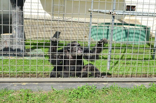 Anthropoid Ape -Kushiro Zoo-