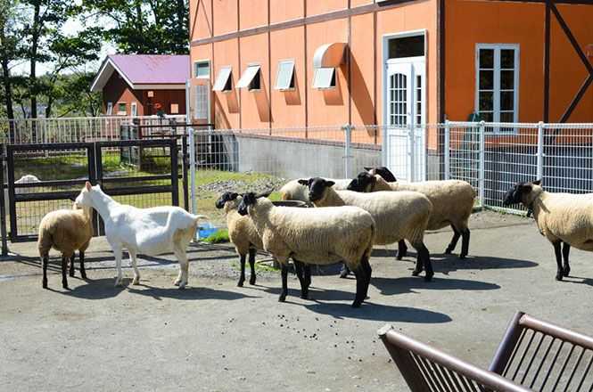 Sheep -Kushiro Zoo-