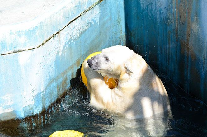Polar Bear -Kushiro Zoo-