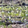 Yobito Skunk Cabbage Colony
