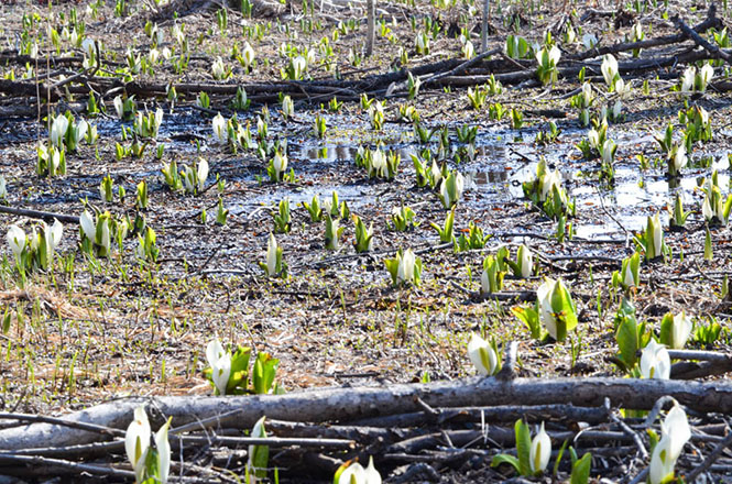 Yobito Skunk Cabbage Colony in Abashiri