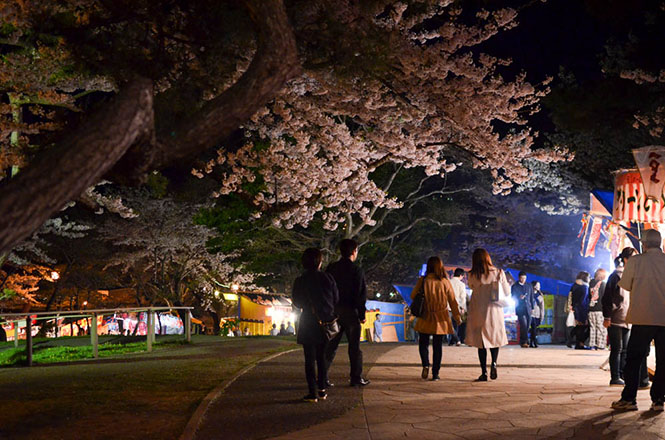 Night Cherry Blossoms at Hakodate Park