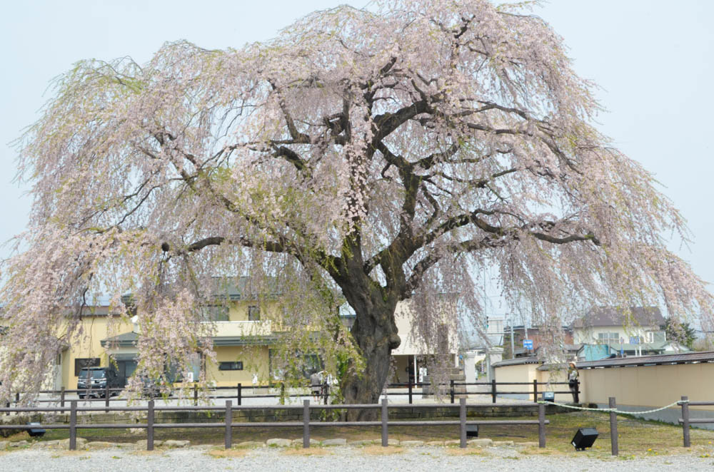 Weeping Cherry on Houki Temple in Hokuto