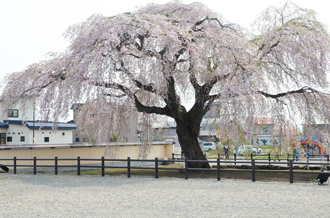 Weeping Cherry Tree on Houki Temple