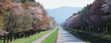 Shizunai Cherry Trees