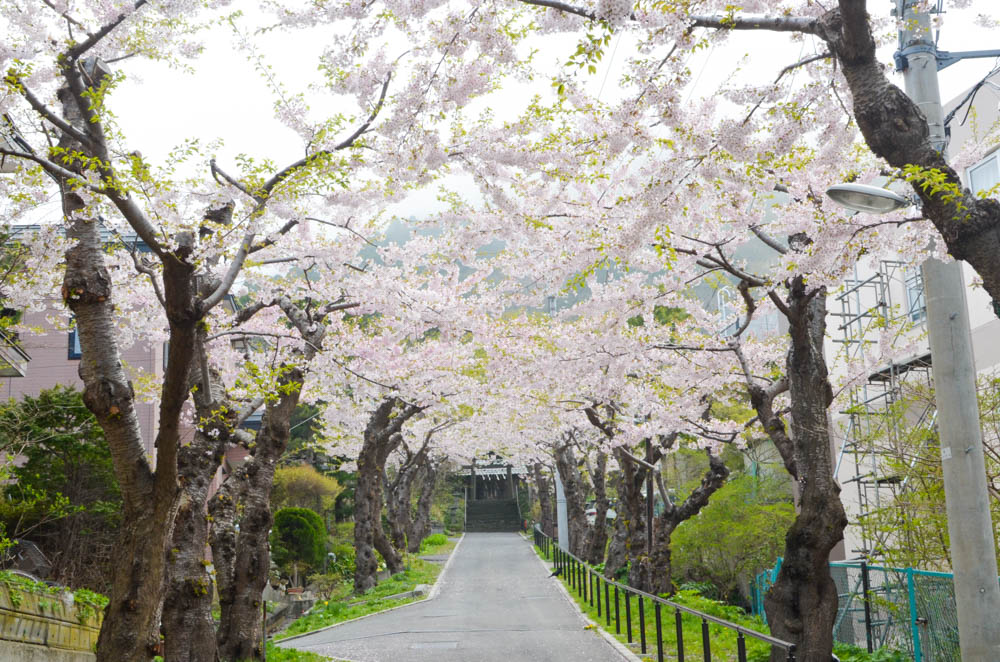 Cherry Blossoms at Sumiyoshi Shrine in Hakodate