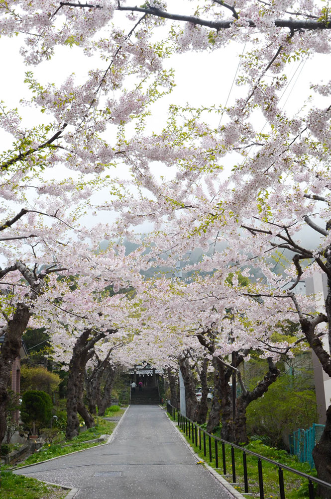 Cherry Blossom at Sumiyoshi Shrine