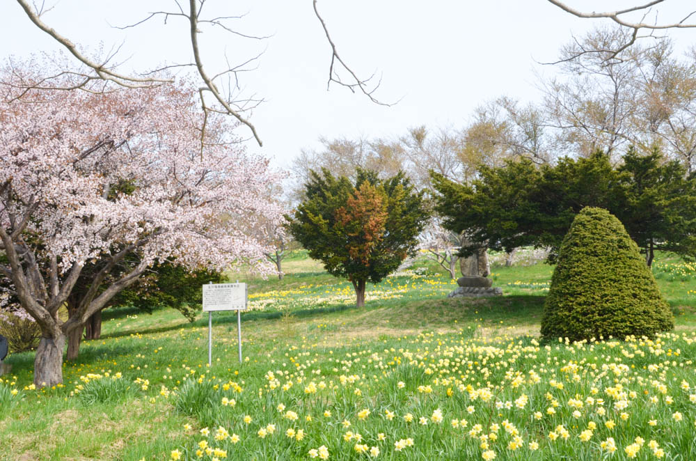 Narcissus on Tamagawa Park in Setana