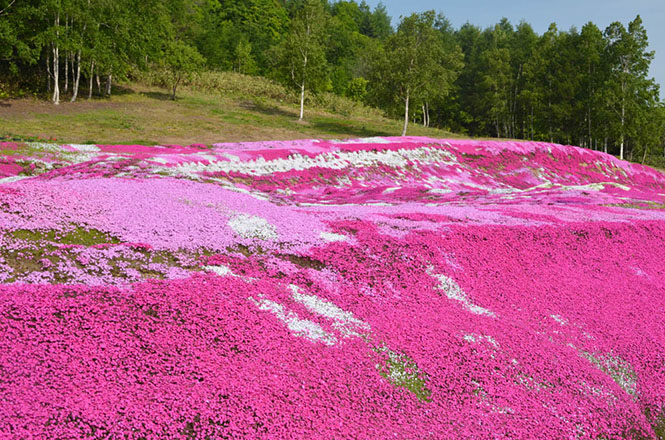 Moss Pink at Mishima Private garden in Kucchan