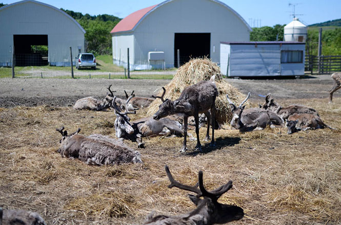Horonobe Reindeer Ranch in Horonobe