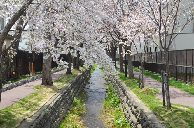 Cherry Trees Lined along Makomanai Water Channel