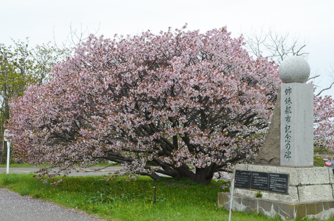 Chishima Cherry Tree in Nemuro City Office