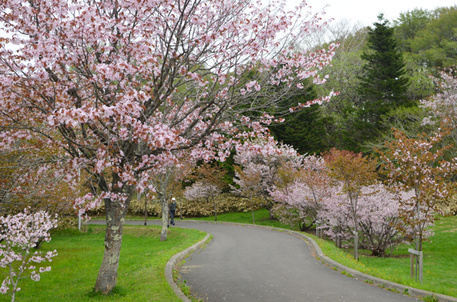 Cherry Blossoms in Meiji Park