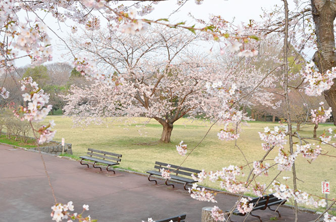 Cherry Blossom of Oniushi Park