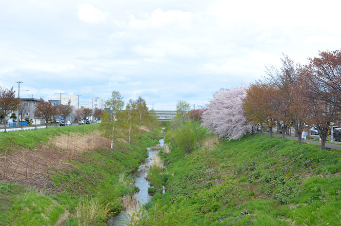 Cherry‐Tree‐Lined Path along Shinkawa River Sapporo