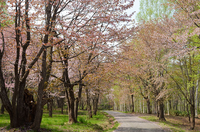 yayoi park in nayoro one of popular places to see cherry blossoms rh good hokkaido info