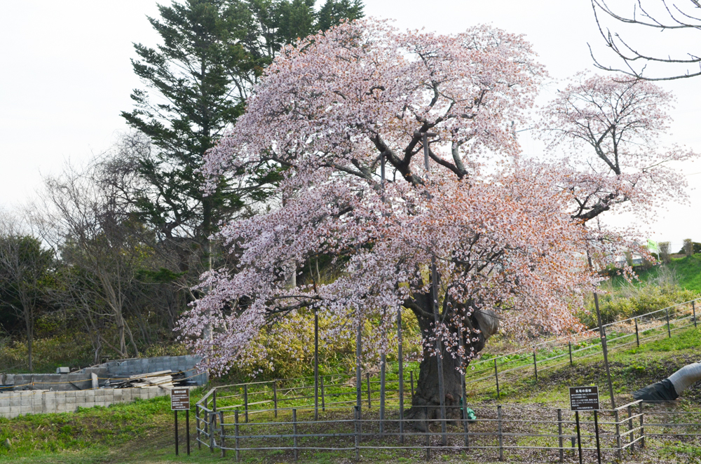 horomoe cherry blossoms muroran