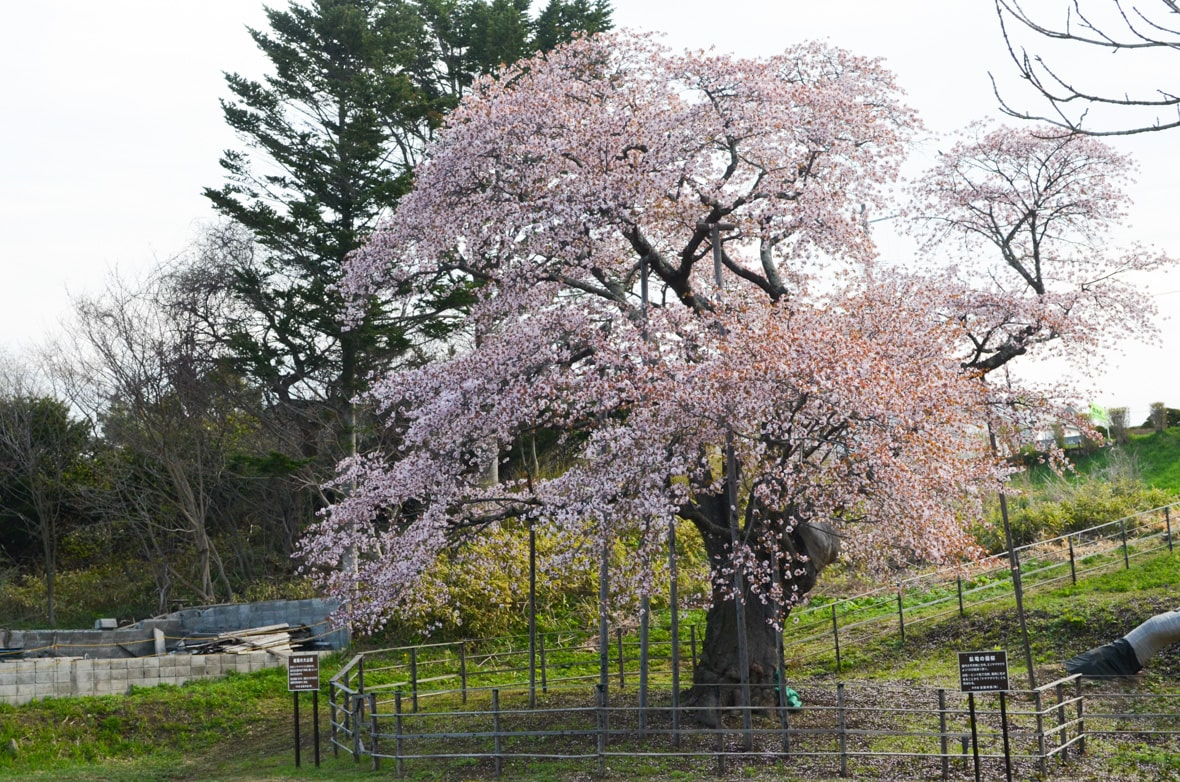 Horomoe Large Cherry Tree