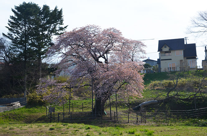 Horomoe Large Cherry Tree in Muroran