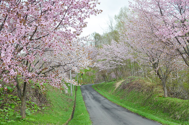 Cherry Blossoms of Niwayama Forest Nature Park in Naie