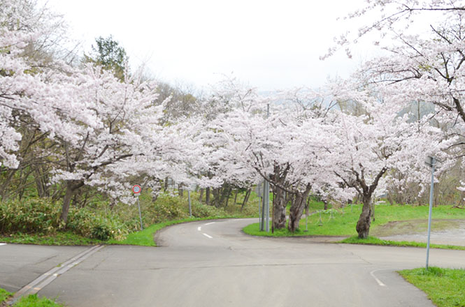 Cherry Blossoms of Tomei Park in Bibai