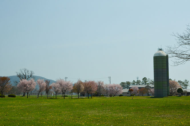 Yushun Sakura Road in Urakawa