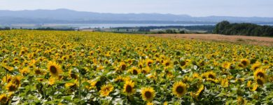 Memanbetsu Sunflower Fields