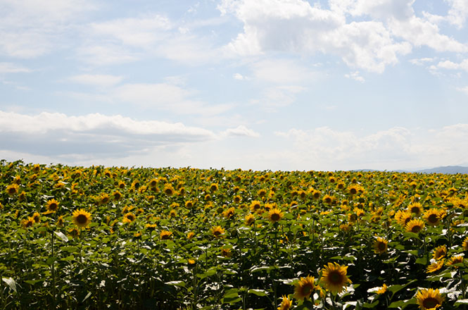 Memanbetsu Sunflower Fields in Ozora