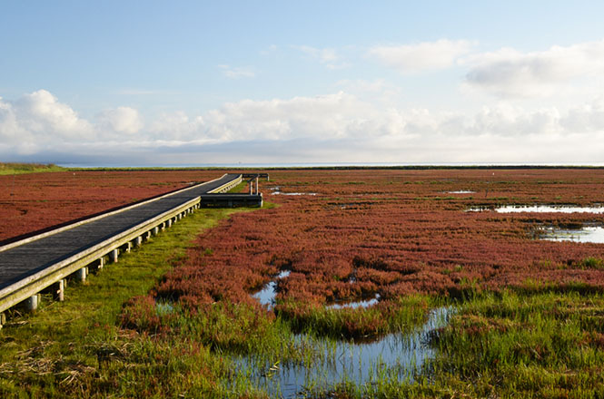 Ubaranai Common Glasswort Colony in Abashiri