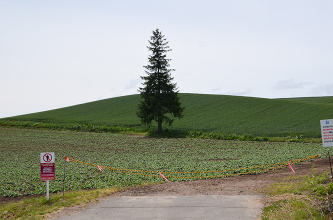 Biei Panorama Road Christmas Tree