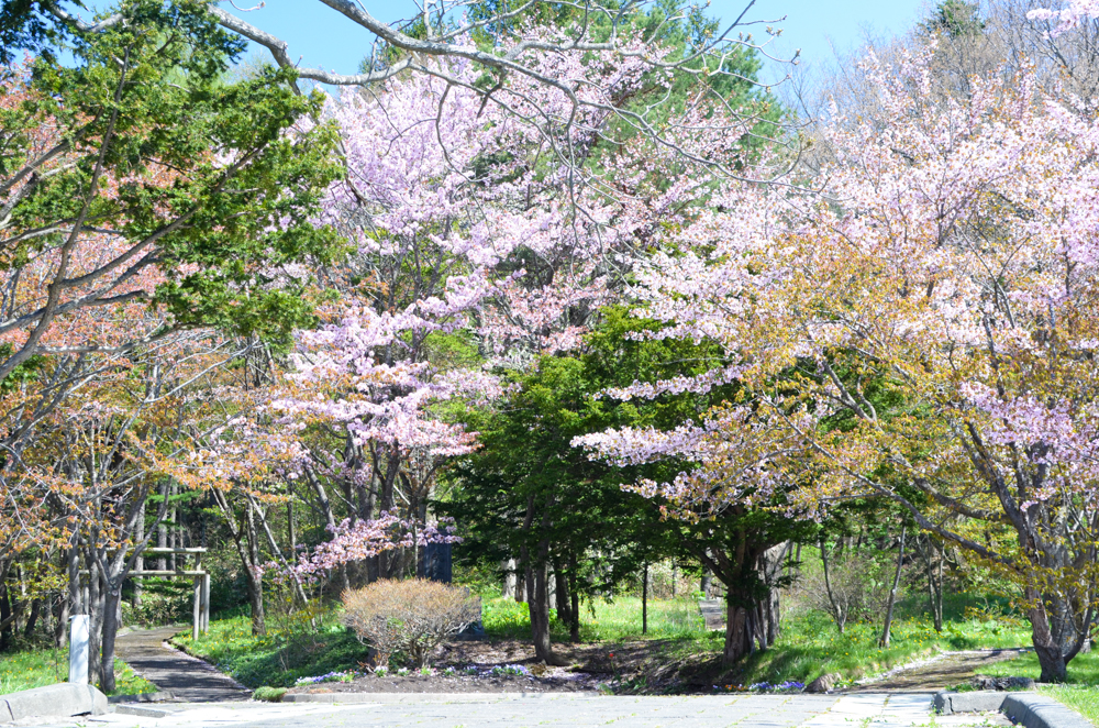 Cherry Blossoms of Kuriyama Park in Kuriyama