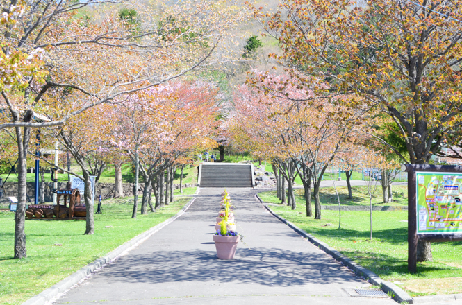 Cherry Blossoms of Kuriyama Park