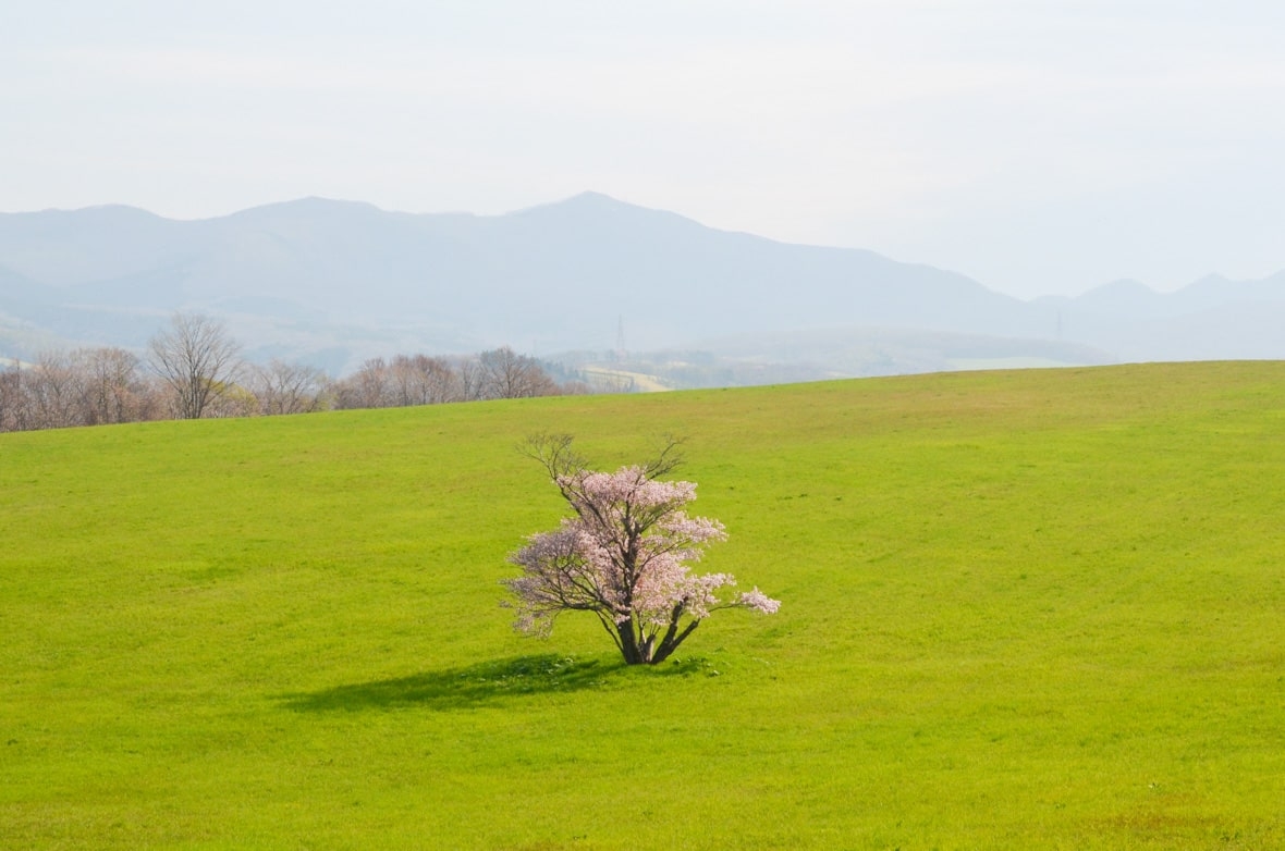Sakimori Cherry Tree in Muroran