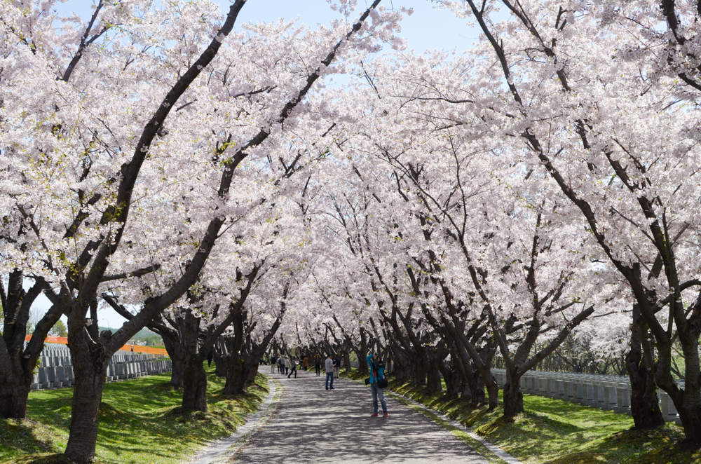 Cherry Blossoms of Toda Memorial Park Cemetery in Ishikari