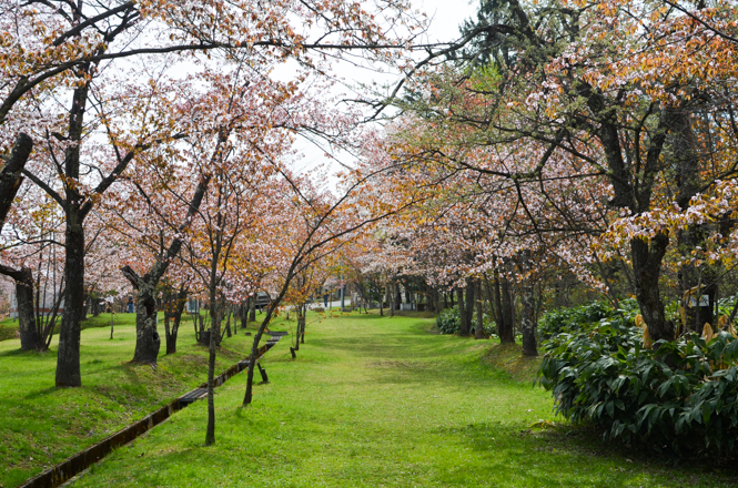Cherry Blossoms of Asahiyama Park in Asahikawa