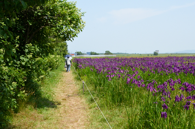 Japanese Iris Ensata Colony in Ebetsu