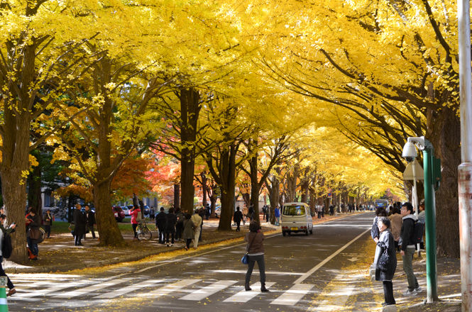 Lined Gingko Trees with Fall Foliage in Hokkaido University