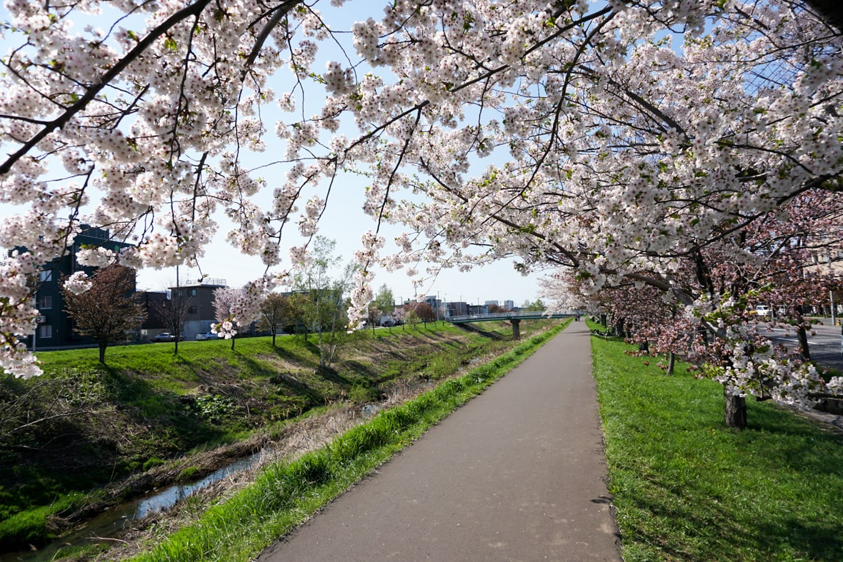 Cherry‐Trees‐Lined Path along Shinkawa River