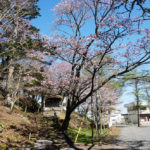 厚岸の国泰寺の桜