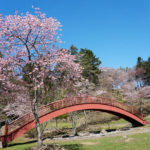 厚岸の子野日公園の桜