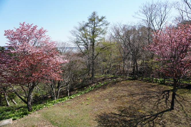 Cherry Blossoms of Nenohi Park in Akkeshi