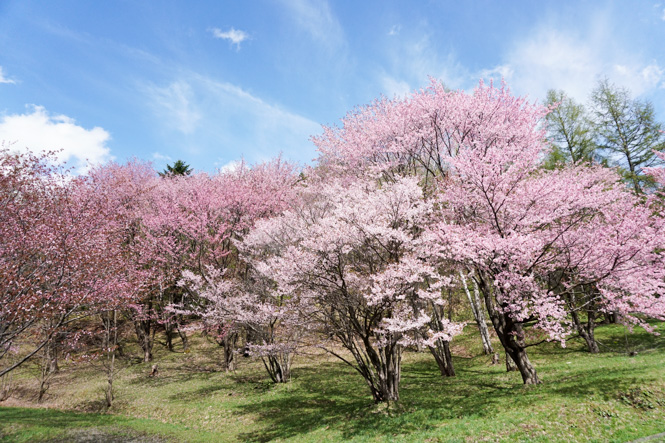 Cherry Blossoms of Asahigaoka Park in Furano