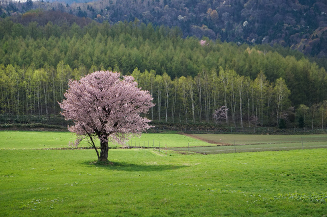 Kamigoryo Cherry Tree in Furano