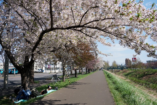 Cherry-Trees-Lined Path along Shinkawa River in Sapporo