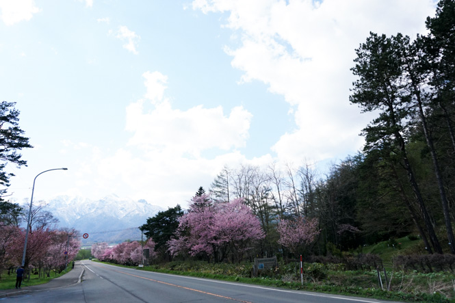 University of Tokyo Hokkaido Forest Lined Cherry Trees in Furano